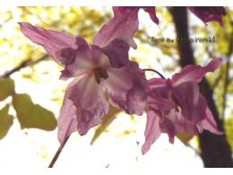 Epimedium x youngianum 'Kozakura'