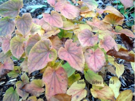 Epimedium x youngianum