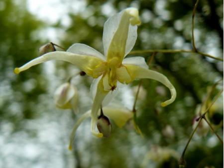 Epimedium acuminatum fleurs jaunes