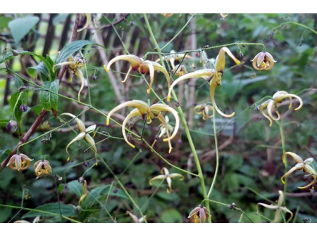 Epimedium 'The Giant'