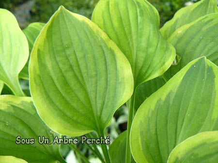 Hosta 'Golden Tiara'