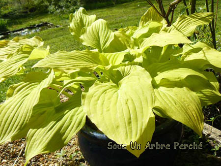 Hosta 'Granary Gold'