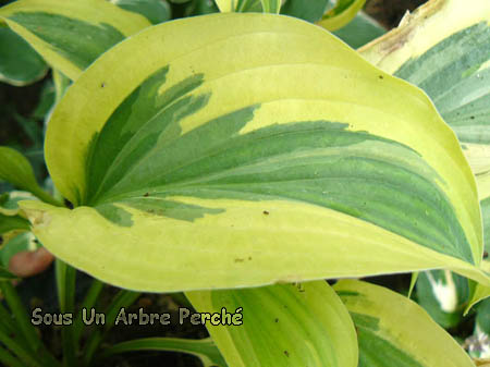 Hosta 'Lakeside Dragon Fly'