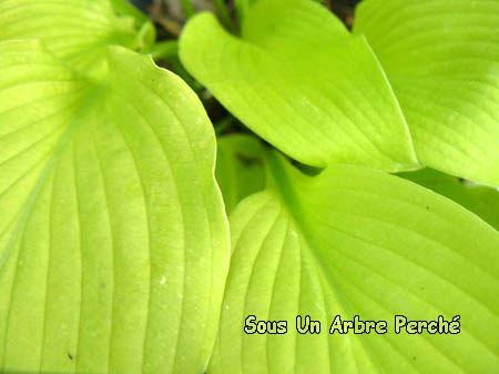 Hosta 'Sun Power'