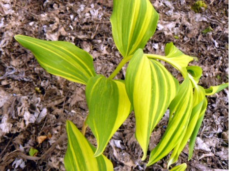 Polygonatum odoratum 'Daikoga'