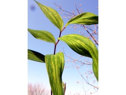 Polygonatum lasianthum 'Sunako Fu'