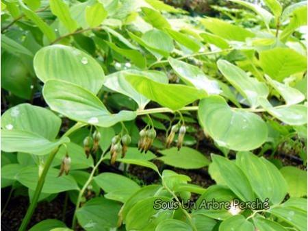 Polygonatum odoratum 'Hotei'