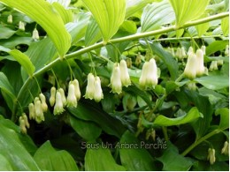 Polygonatum x hybridum 'Weihenstephan'