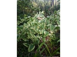Polygonatum x hybridum 'Grace Baker'