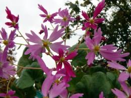 Saxifraga fortunei var. incisolobata 'Aïda'