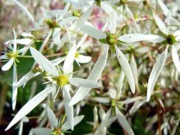 Saxifraga fortunei var. incisolobata 'Eurydice'