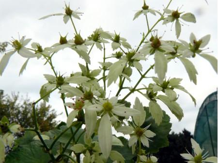 Saxifraga fortunei var. incisolobata 'Orpheus'