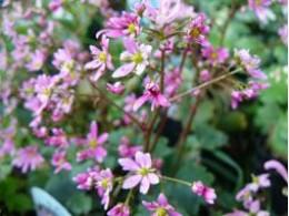 Saxifraga fortunei var. incisolobata 'Baikou'