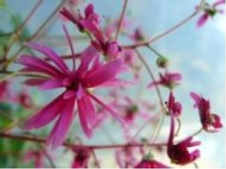 Saxifraga fortunei var. incisolobata 'Ayaka'