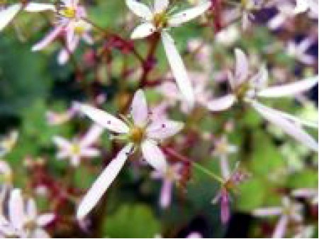 Saxifraga fortunei var. incisolobata 'Gensyu Momo Hanakei'