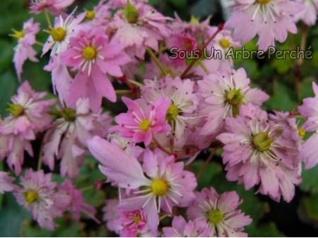 Saxifraga fortunei var. incisolobata 'Hana Hime'