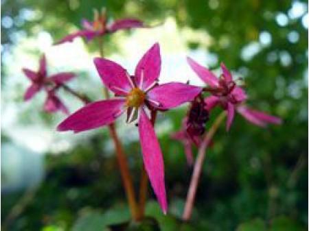 Saxifraga fortunei var. incisolobata 'Hirameki'