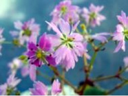 Saxifraga fortunei var. incisolobata 'Kaguya Hime'