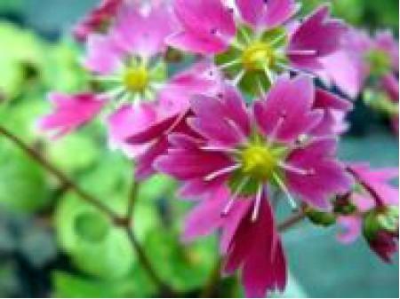 Saxifraga fortunei var. incisolobata 'Kanade'