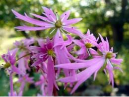 Saxifraga fortunei var. incisolobata 'Kujaku'