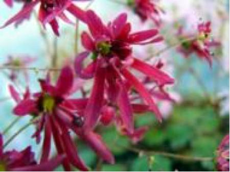 Saxifraga fortunei var. incisolobata 'Miyabi-no-mai'