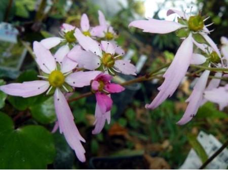 Saxifraga fortunei var. incisolobata 'Momosekisui'