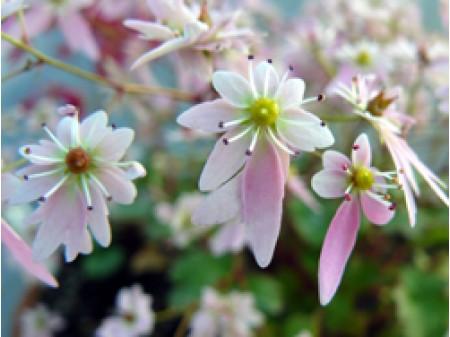 Saxifraga fortunei var. incisolobata 'Saotome'