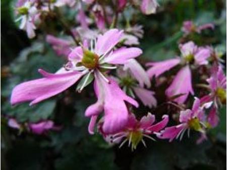 Saxifraga fortunei var. incisolobata 'Seikou'