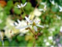 Saxifraga fortunei var. incisolobata 'Seiyuzan Urabeni'