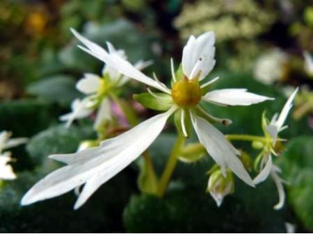 Saxifraga fortunei var. incisolobata 'Seno Yuki'