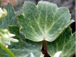 Saxifraga fortunei var. incisolobata 'Shiragiku'