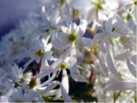 Saxifraga fortunei var. incisolobata 'Shiraito-no-taki'