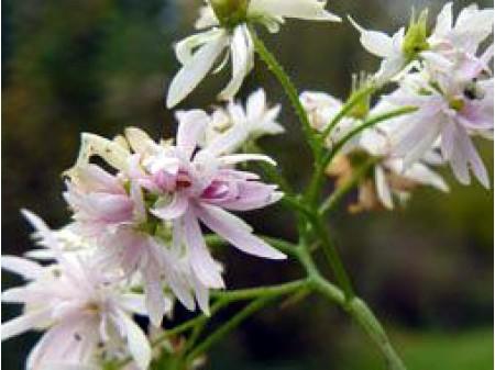 Saxifraga fortunei var. incisolobata 'Yukigeshou'