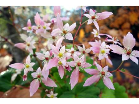 Saxifraga fortunei var. incisolobata 'Conception'