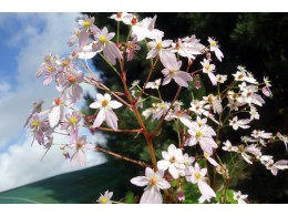 Saxifraga fortunei var. incisolobata 'Ganymède'