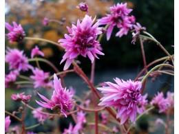 Saxifraga fortunei var. incisolobata 'Hermès'