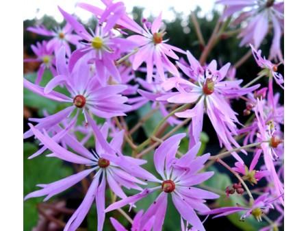 Saxifraga fortunei var. incisolobata 'Junon'