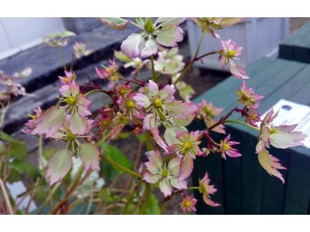 Saxifraga fortunei var. incisolobata 'Lakmé'