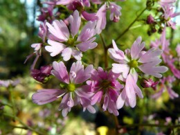 Saxifraga fortunei var. incisolobata 'Shinano'