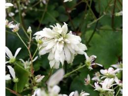 Saxifraga fortunei var. incisolobata 'Anteros'