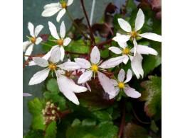 Saxifraga fortunei var. incisolobata 'Aquilon'