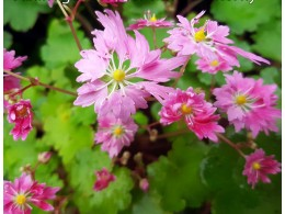 Saxifraga fortunei var. incisolobata 'Mme Butterfly'