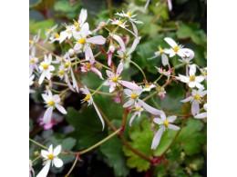 Saxifraga fortunei var. incisolobata 'Priam'