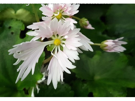 Saxifraga fortunei var. incisolobata 'Shifonhana'