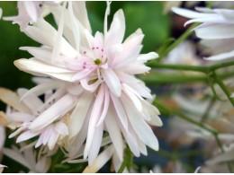Saxifraga fortunei var. incisolobata 'Tantale'