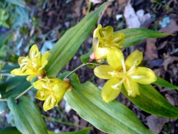 Tricyrtis perfoliata