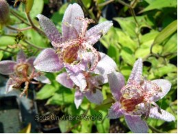 Tricyrtis formosana 'Spotted Toad' BSWJ1769