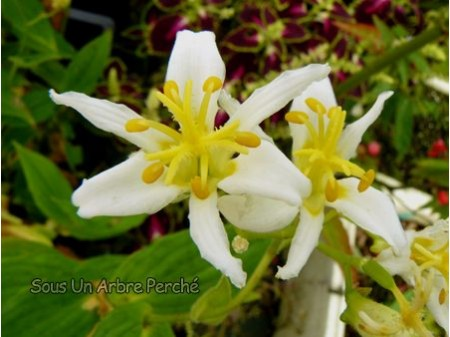 Tricyrtis lasiocarpa 'Alba'