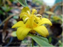 Tricyrtis perfoliata 'Spring Shine'