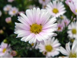Aster ericoides 'Cyrille'